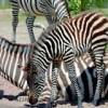 Zebra Zaila