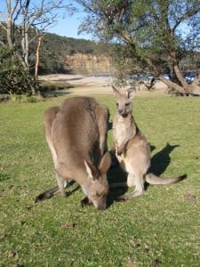 Nachwuchs bei den Kängurus in Worms