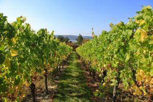 Weinlandschaft im Rhein-Main-Gebiet