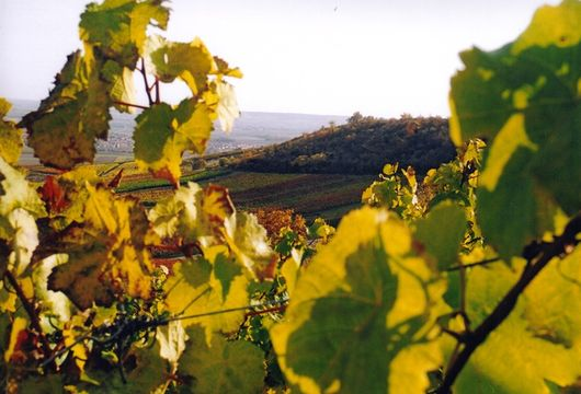 Weinbau in Rheinhessen